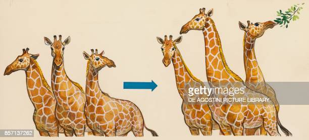 only giraffes with the longest necks survive passing on this characteristic to the next generations resulting in natural selection drawing
