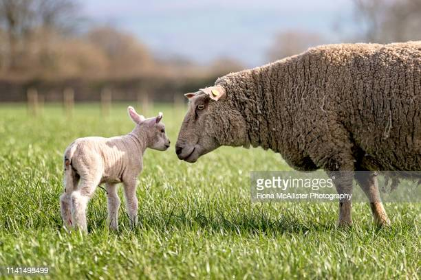 a ewe and her lamb in an english field - springtime stock pictures, royalty-free photos & images
