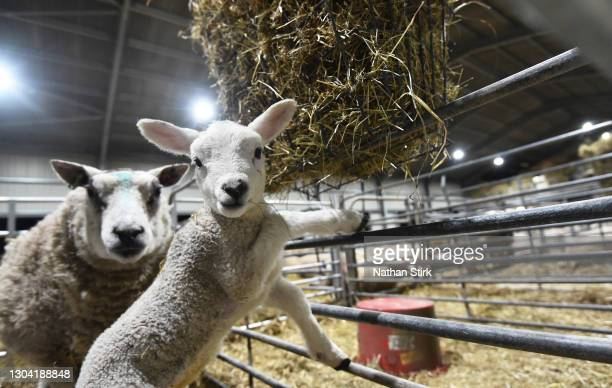 Ewe and it lamb looks on at Platts Farm on February 26, 2021 in Macclesfield, England. Limited supplies and cold weather have increased the price per...