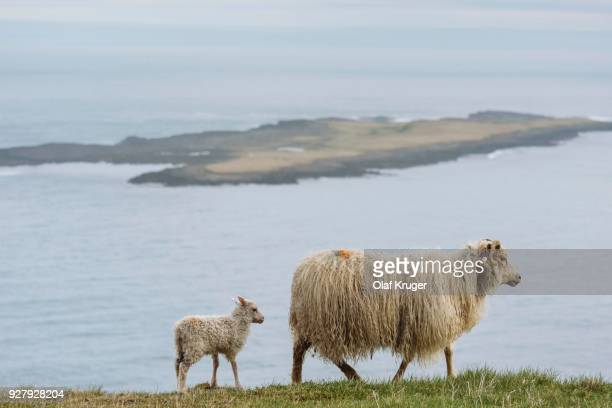 ewe and lamb (ovis), hafnarnes, eastfjords, iceland - austurland stock pictures, royalty-free photos & images