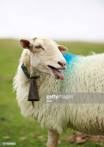 Ewe Domestic Ewe Pyrenees France
