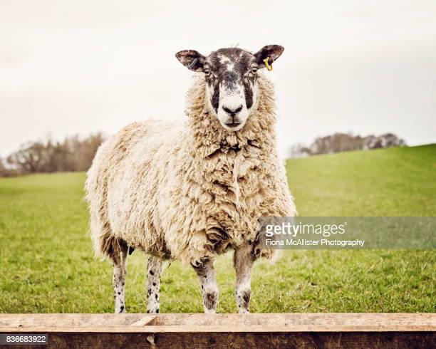 Ewe In Field, British Sheep Farming