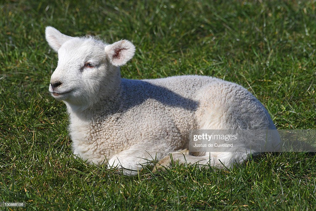 Ewe Lamb Young Domestic Sheep Stock Photo - Getty Images