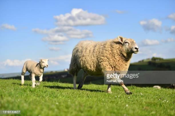 Ewe sheep looks after its baby lamb on May 19, 2021 in Biddulph, England .