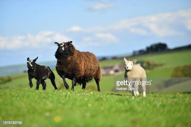 Ewe sheep looks after its baby lambs on May 19, 2021 in Biddulph, England .