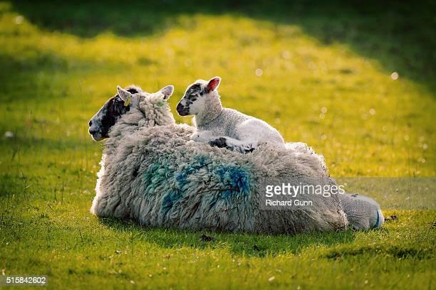 ewe with lamb sitting on her back - アフィントン ストックフォトと画像