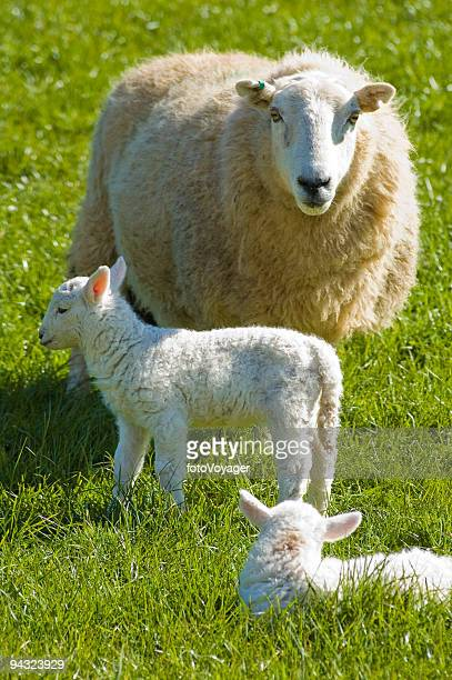 Ewe with new born lambs