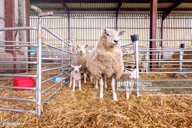 Ewes And Lambs In Farmyard Pens, Sheep Farming