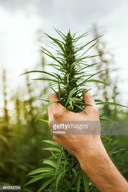 examination of industrial hemp - legalization stock pictures, royalty-free photos & images
