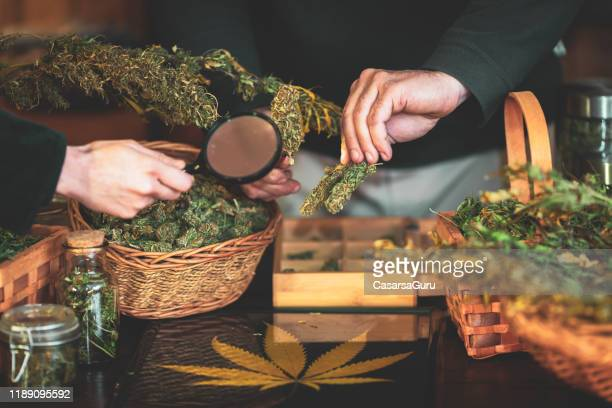examining dry cannabis buds - stock photo - cannabis store stock pictures, royalty-free photos & images