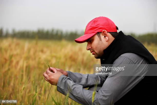 examining wheat - agronomist stock pictures, royalty-free photos & images