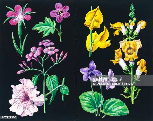 Common corncockle Meadow geranium Lunaria Petunia examples of asymmetric flowers Broom Snapdragon Viola drawing