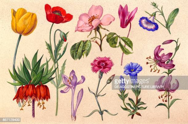 Tulip Common poppy Wild rose Cyclamen Morning glory Fritillaria Colchicum Common carnation Gentian Lilium martagon drawing