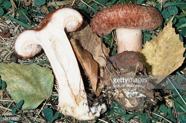 Examples of whole and sectioned Woolly milkcap or Bearded milkcap Russulaceae