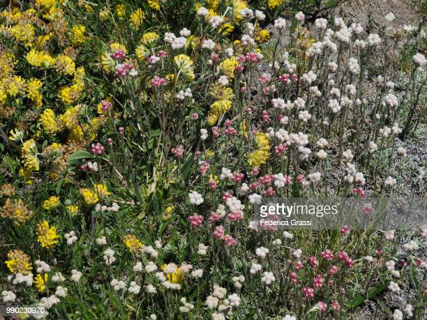 Exceptional Blooming Of Antennaria Dioica And Other Wild Flowers At Simplon Pass