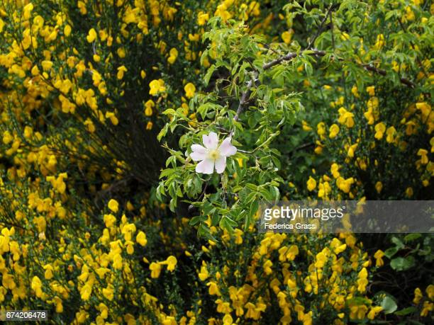 Exceptional Blooming Of Scotch Broom (Cytisus scoparius) In Ticino, Southern Switzerland