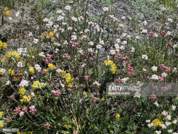 Exceptional Blooming of Wild Flowers at Simplon Pass