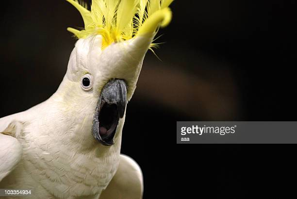 Excited Cockatoo