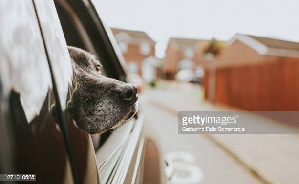 excited dog looking out of a car window - snout stock pictures, royalty-free photos & images