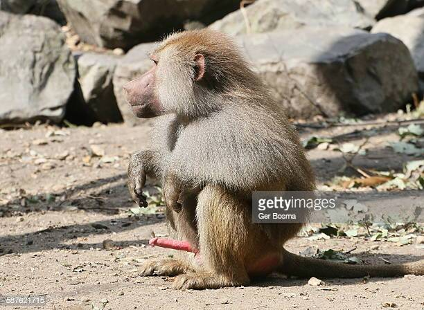 excited male baboon - male erection stock pictures, royalty-free photos & images