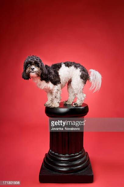 excited shih tzu poodle dog on a pedestal - pedestal stock pictures, royalty-free photos & images
