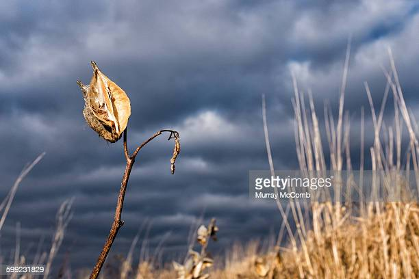 exhausted milkweed waiting for winter - murray mccomb stock pictures, royalty-free photos & images