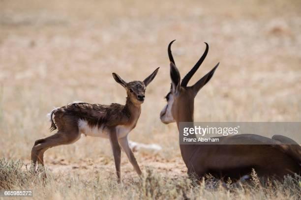 exhausted springbok mother next to newborn fawn, kgalagadi national park, kalahari, south africa - springbok deer stock photos and pictures