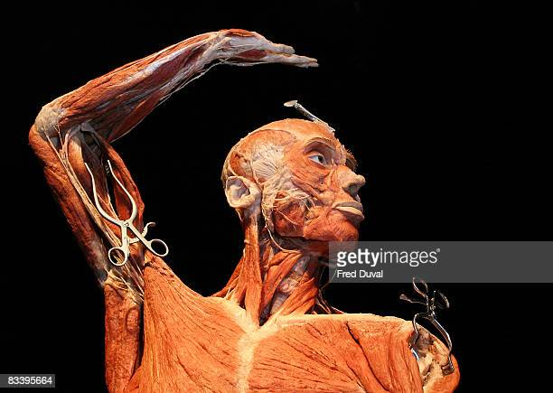 Exhibit at the Body Worlds & The Mirror of Time exhibition at the O2 on October 24, 2008 in London, England.