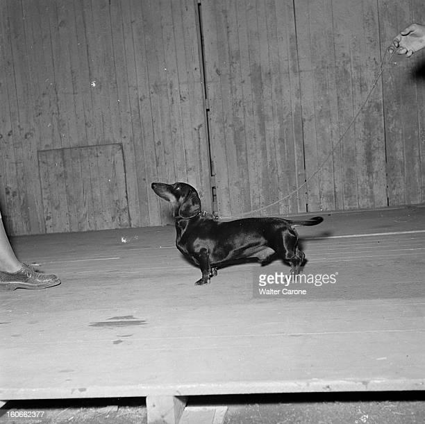 Exhibition Of Useful Dogs In 1950 At Porte De Versailles A Paris au parc des expositions un teckel moyen ou basset allemand
