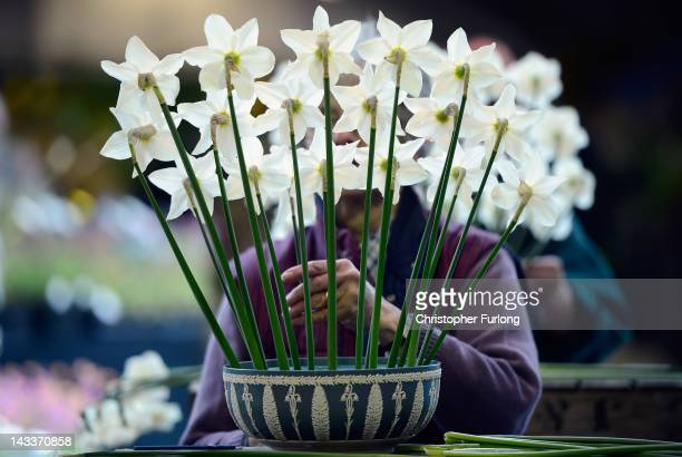 Exhibitor Rosemary Walkers arranges her display of daffodils as horticulturalists prepare their displays for the Harrogate Flower Show on April 25...