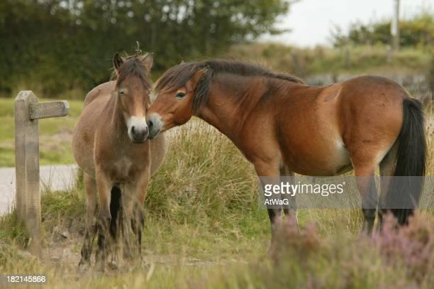 Exmooor ponies