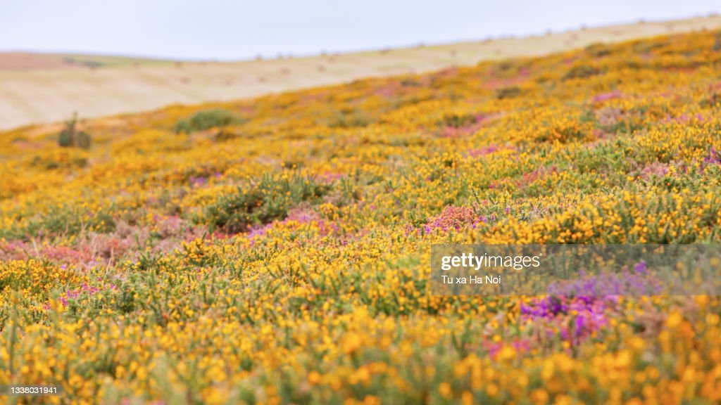 Exmoor picturesque heather covered hills late August : Stock Photo