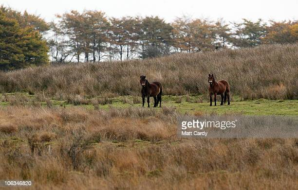 Exmoor ponies graze close to where the it has been reported that the 'Emperor of Exmoor' was last seen after being shot dead by an unnamed but...
