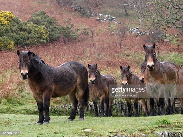 Exmoor ponies in the rain, Valley of Rocks, Exmoor, Devon, UK.