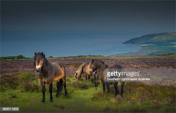 exmoor ponies - exmoor national park 個照片及圖片檔