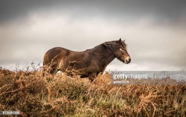埃克斯莫爾小馬 - exmoor national park 個照片及圖片檔
