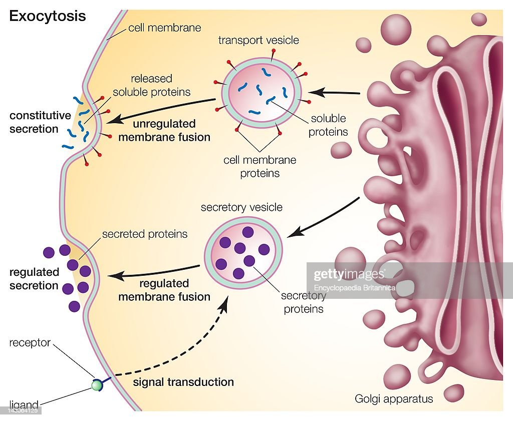 Exocytosis, A Process For Primary Active Transport Across The Cell... News Photo ...  Exocytosis, A P...