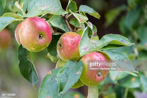 Exotic Apples of Canada Blushing red apples on a branch in an Orchard in Toronto Canada Fruit growing is an important part of Canadas food industry...