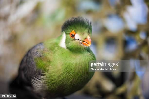Exotic bird native to Africa, the Guinea Green Turaco. Beautiful feathers with bright orange beak and eyes.