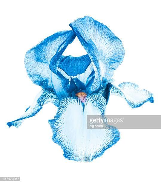 Exotic blue iris flower on white background