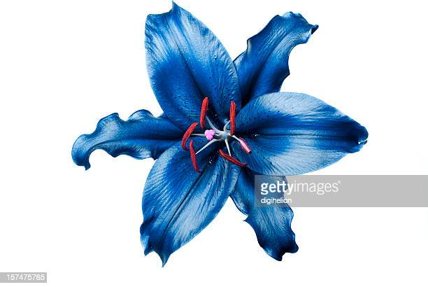 Exotic blue lily on white background
