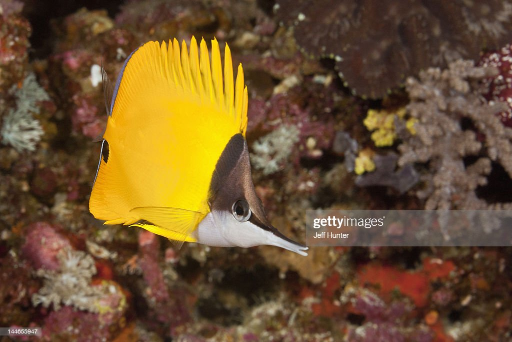 Exotic Butterflyfish on a tropical coral reef : Foto stock