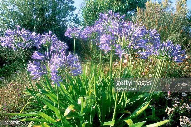 Exotic garden in Roscoff France Blue agapanthu perennial umbellatus