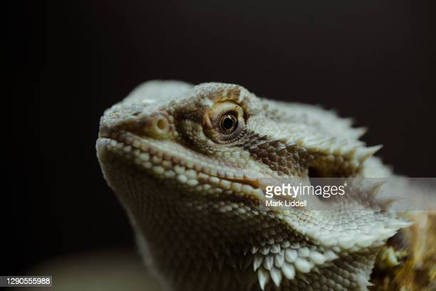 exotic pet pogona lizard - bearded dragon - dundee scotland stock pictures, royalty-free photos & images