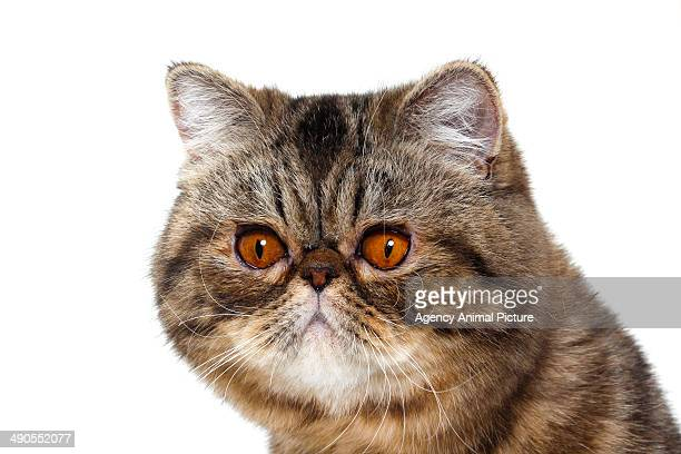 exotic short hair - shorthair cat stock pictures, royalty-free photos & images