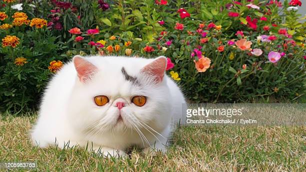 exotic shorthair cat in the garden with colorful flowers bush in the background - persian cat stock pictures, royalty-free photos & images