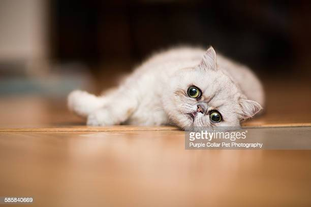 exotic shorthair cat resting on floor - shorthair cat stock pictures, royalty-free photos & images