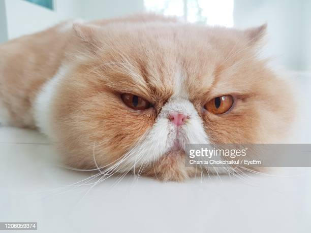 exotic shorthair cat with angry face - persian cat stock pictures, royalty-free photos & images