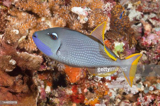 Exotic Triggerfish on a tropical coral reef