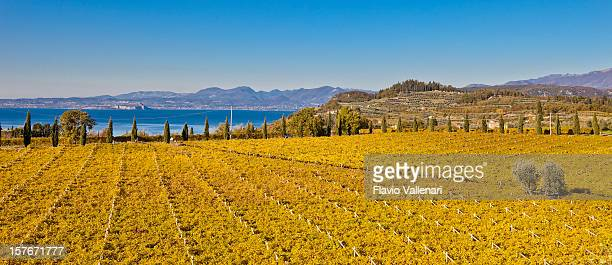 Expanse of Yellow Vineyards in Autumn, Italy